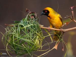 burung membuat sarang by National Geographic