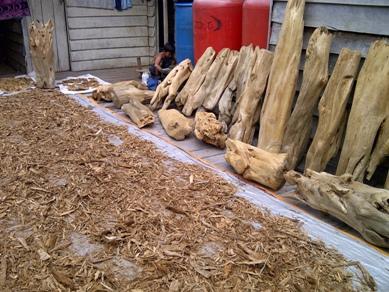 kayu gaharu di pedalaman Papua mhariyadi edited