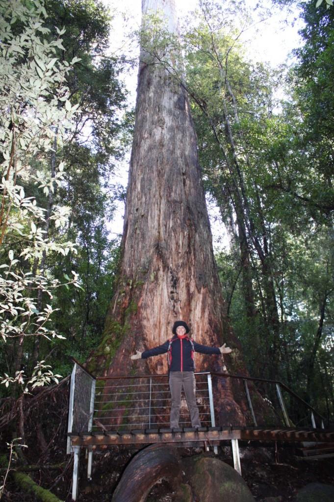 Tahune the giant tree