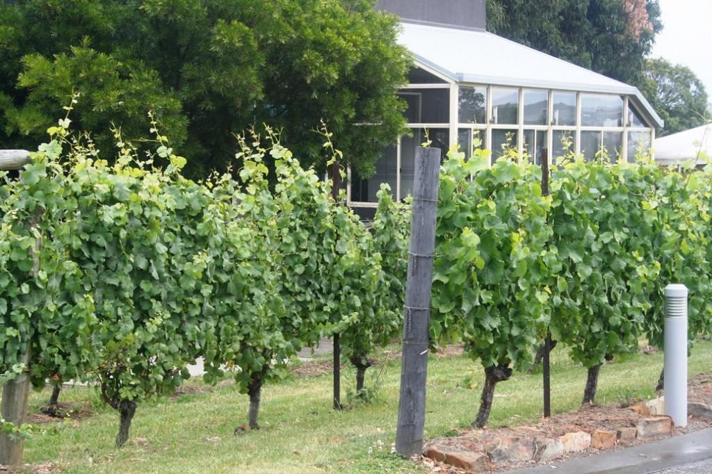 Anggur di Tasmania